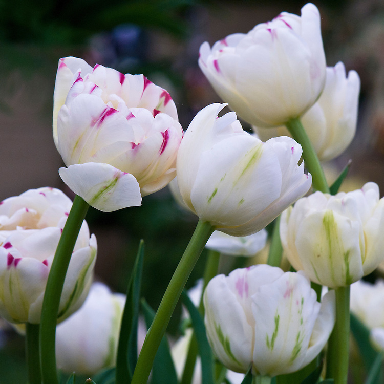 Tulip 'Dance Line' (Double Early Group), mid May. Solid blooms of creamy white petals marked at the tips with small deep raspberry red splashes.