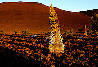 Mauna Kea Silversword, Endangered.  Found only at the highest elevations on Mauna Kea volcano, Hawaii Island