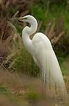 Great Egret Mating Plumage Southern California Close Portrait