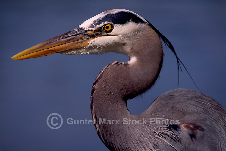 Great Blue Heron (Ardea herodias) - Portrait