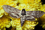 Apple, Sphinx Moth, Sphinx gordius