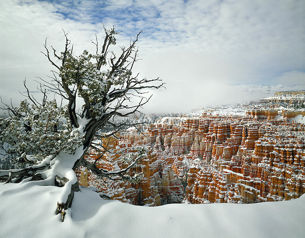 Lone Juniper tree in snow, Bryce Canyon National Park, Utah.<br /> Outside Imagery offers Bryce National Park photo tours. Year-round Utah photo tours.