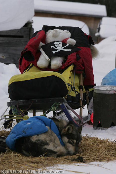 Dallas Seavey's dogs and Teddy bear rest at the Tokotna checkpoint.  2005 Iditarod Trail Sled Dog Race.