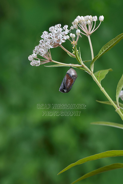 Queen (Danaus gilippus), butterfly emerging from chrysalis on Aquatic Milkweed (Asclepias perennis), series, Hill Country, Central Texas, USA