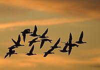 Brant; Branta bernicla; flock; NJ, Edwin Forsythe NWR