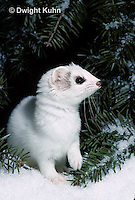 MA06-070x  Short-Tailed Weasel - ermine exploring forest for prey in winter - Mustela erminea