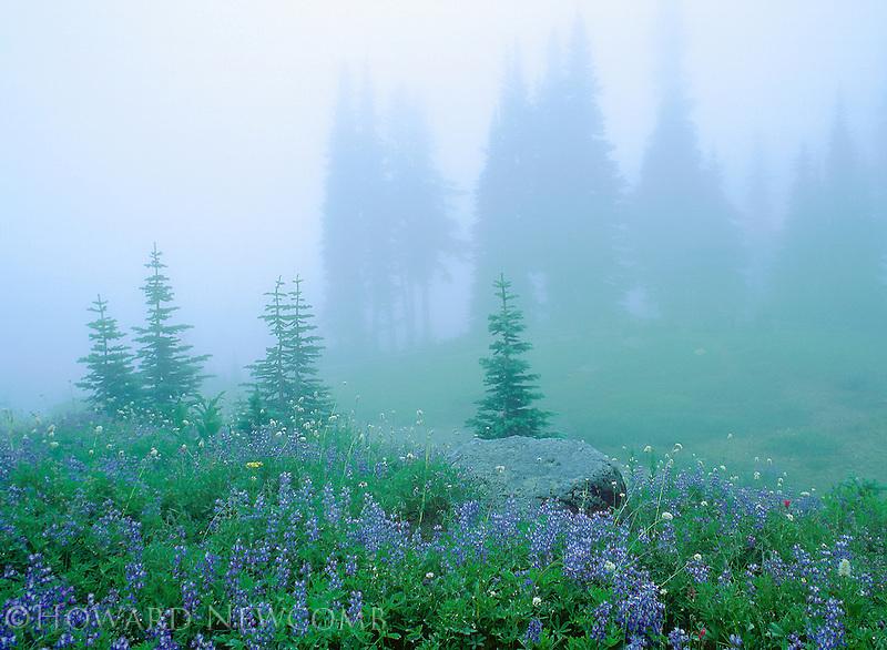 Blue Lupine meadow on a misty day, Mount Rainier, Washington