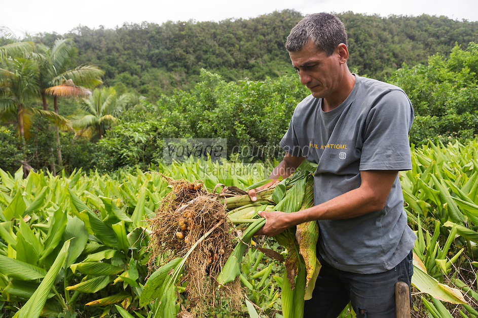 France, île de la Réunion, Saint-Joseph, La Plaine des Grègues, culture du curcuma - Pierrot Vitry récolte les rhizomes //  France, Reunion island (French overseas department), Saint Joseph, La Plaine des Gregues, cultivation of turmeric , Pierrot Vitry harvest rhizomes<br /> Auto N°: 2014 - 115