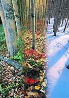 DIGITAL COMPOSITE: Boreal forest of aspen trees in three seasons, Fairbanks, Alaska