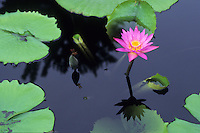 Water Lily, Backyard Pond, New Jersey