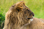 "LOTS OF FLIES ON HIM.  Hundreds of flies take advantage of a resting lion as they ingest blood on his face from his latest kill.  <br /> <br /> Photographer Payam Farahani, 23, captured the image in the Masai Mara, Kenya.   <br /> <br /> Payam said, ""Lions rest after hunting to regain their strength.  This didn't seem too bothered by the flies, but once in a while he would shake his head to make them move.""<br /> <br /> Please byline:  Payam Farahani/Solent News<br /> <br /> © Payam Farahani/Solent News & Photo Agency<br /> UK +44 (0) 2380 458800"