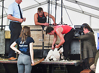 BNPS.co.uk (01202 558833)<br /> Pic: HenryMayo/BNPS<br /> <br /> Henry Mayo becames the first English winner at the New Zealand Shearing Championships since 1991.<br /> <br /> (Collect pic) Henry Mayo sheering a sheep at Dorset County Show.