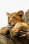 Lion cub possibly 1 yr old resting in tree in Serengeti, Tanzania