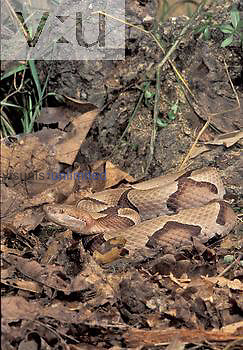 Southern Copperhead showing protective coloration in leaves (Agkistrodon contortrix contortrix), Southeastern USA.