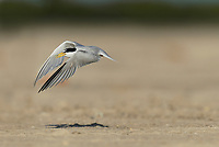 Least Tern (Sterna antillarum), adult in flight, South Padre Island, Texas, USA