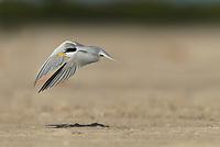 Least Tern (Sterna antillarum), adult in flight, South Padre Island, Texas, USA