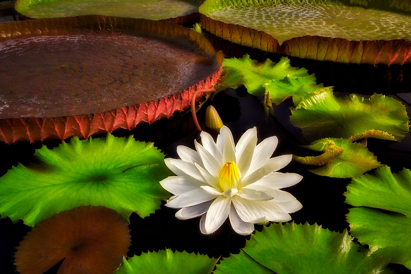 Tropical lily bloom and leaves of Amazon Lilies, Victoria lilies. Hughes Water Gardens. Oregon