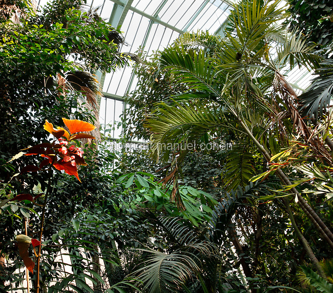 Tropical Rainforest Glasshouse (formerly Le Jardin d'Hiver or Winter Gardens), 1936, René Berger, Jardin des Plantes, Museum National d'Histoire Naturelle, Paris, France. Low angle view of the luxuriant tropical foliage against the glass and metal roof structure of the Art Deco style glasshouse in the morning light.