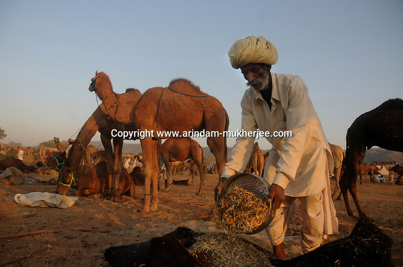 """A camel trader collects fodder for his camels at the Camel trading ground in Pushkar.  Pushkar during its famous Camel Fair gives a rare glimpse of earthy village life with a heady mix of colours, faith and frenzy - things that define """"Indianness"""" to a tourist's eyes. The town nestled at the foothills of the rugged Aravalli in Rajasthan, owes its raison d'être to the sacred Pushkar lake surrounded by more than 500 Hindu shrines. This November, begins the camel (and horse) fair - one of the biggest animal fairs on earth. Though chiefly a secular occasion, like most of the Indian fair Pushkar fair too merges with a Hindu rite of bathing on the full-moon day. It's a visitor's delight to watch waves after waves of colourfully clad people arriving for holy dips in the lake. During this fortnight long festival, Pushkar becomes a temporary home for holy men, con men, devotees, salesmen - in brief, all kinds of men and women. The camel trading yard spreads across the desert-stretch fringing the little town. It shelters some 50,000 camels and their brightly turbaned owners/buyers from all over Rajasthan. While the desert comes alive with the performances of tribal musicians and dancers, the animal traders negotiate deals with the buyers; or roll out bread for lunch. The bleating of camels, hurtling of scruffy boys to get a share of animal dung - create an ambience of unadulterated simplicity. Arindam Mukherjee"""