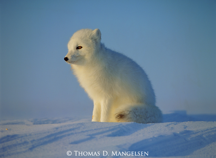 An arctic fox sits in the morning light on snow.