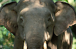 Asian Elephant (Elephas maximus) - Tabin, Sabah, male  .close up of face, with ears forward in aggression, showing tusks and eyes.Indonesia....