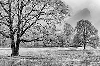 Oak Trees, Washington