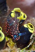 Green Ring Nembrotha Nudibranch, Nembrotha yonowae, feeding on Sea Squirts (Tunicata subphylum), Bronsel dive site, Lembeh Straits, Sulawesi, Indonesia, Pacific Ocean