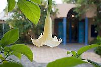 Afrique/Afrique du Nord/Maroc/Rabat: Flore du Jardin de l'Hotel Maison d'Hote Villa Mandarine - Datura [Non destiné à un usage publicitaire - Not intended for an advertising use]