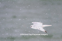 00817-00618 Gyrfalcon (Falco rusticolus) white phase in flight in snow Churchill Wildlife Management Area Churchill MB