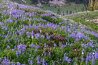 I found aplpine flowers in full bloom around the Naches Peak.
