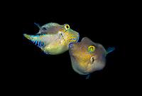 Caribbean sharp-nose puffers, Canthigaster rostrata, facing off for territorial dispute, Bonaire, ABC Islands, Netherlands Anitilles, Caribbean Sea, Atlantic Ocean