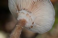 Gewöhnlicher Hallimasch, Dunkler Hallimasch, Halimasch, Honigpilz, Armillaria solidipes, Armillaria ostoyae, Armillariella polymyces, Dark Honey Fungus, honey mushroom