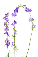 30099-00608 Tall Blue Larkspur (Delphinium exaltatum) (high key white background) Marion Co. IL