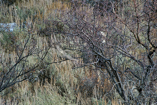 Mule Deer buck standing hidden behind brush.  Western U.S., fall