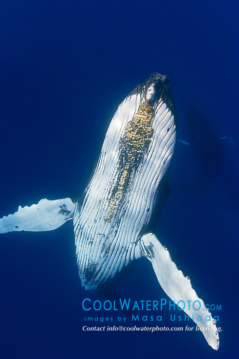 Humpback Whale, Megaptera novaeangliae, with parasitic acorn barnacles under chin, Cornula diaderma, Hawaii, Pacific Ocean