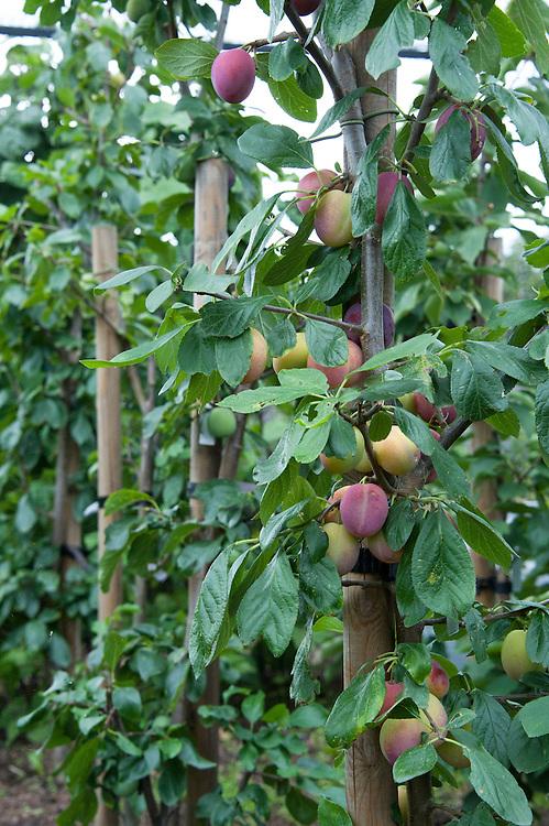 'Victoria' plum trees grown as vertical cordons or minarettes.
