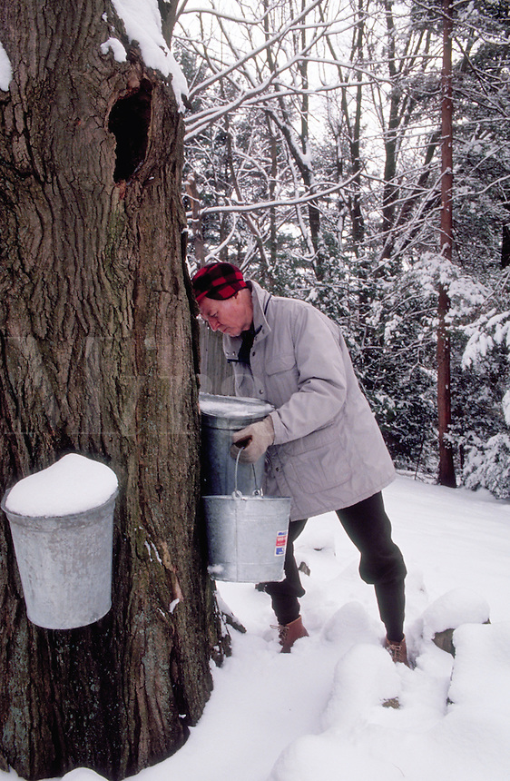 Man collecting sap in sap bucket to make maple syrup. Massachusetts.