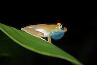Boomkikker (Boophis viridis), Andasibe , Madagascar