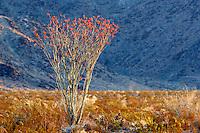 Ocotillo bush in bloom. Joshua Tree National Park. California