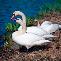 Mute Swans (Cygnus olor) standing along Lake Shore and sitting on a Nest - North American Birds and Swans