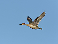 Pintail - Anas acuta - female