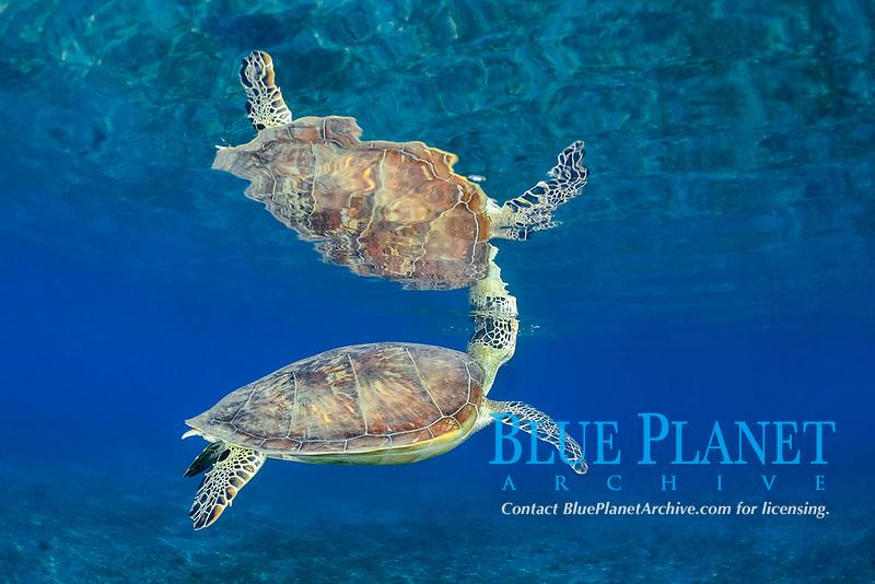 green sea turtle, Chelonia mydas, breathing, endangered species, Wadi El Gamal National Park, Marsa Alam, Egypt, Red Sea, Indian Ocean