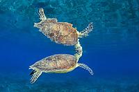 green sea turtle, Chelonia mydas, breathing, endangered species, Wadi Gimal National Park, Marsa Alam, Egypt, Red Sea, Indian Ocean