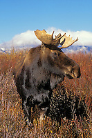 "BULL MOOSE. Two or three year old with immature antlers..The name 'moose"" is derived from the Algonkian name that means ""eater of twigs""  Autumn. Grand Teton National Park, Wyoming. U.S.A. (Alces alces)."