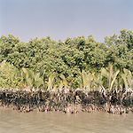An oil spill in the Sunderbans marks the vegetation on the banks. The effects of human disasters like this last for many years and effect the entire ecosystem.