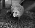 1998- A fox, not indigenous to the Florida Everglades. The fox is part of exhibit of animals at Gator Park.The Florida Everglades are a disappearing world. Overpopulation, the sugar and cattle industry, mismanagement of the land, droughts and bush fires are just a few of the problems the Florida Everglades are facing. Here Glen Wilsey driving his airboat. According to Glen the best thing about being a tour guide in the everglades is driving the airboats. Riding an airboat is fun but driving an airboat is an awesome feeling.