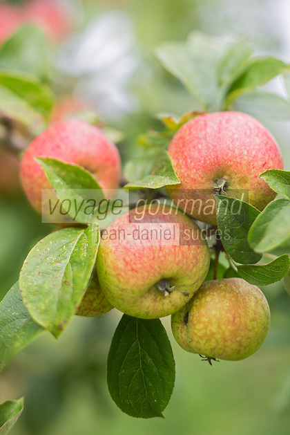 France, Calvados (14), Pays d' Auge, env de Beuvron-en-Auge, Pommes à cidre, Pommes Mettais  // France, Calvados, Pays d' Auge, near Beuvron en Auge,   Cider apple: Mettais