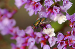 Green Bottle Fly on Status, Blowfly, Lucilia, Statice, Limonium, Southern California
