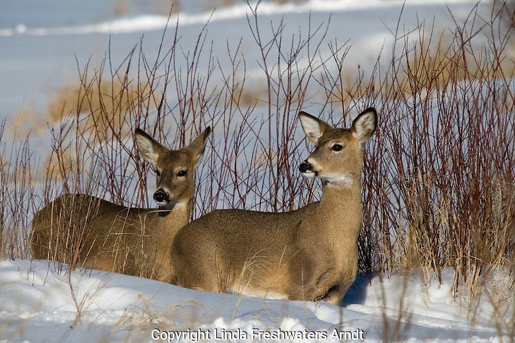 White-tailed deer (Odocoileus virginianus) standing in the deep snow