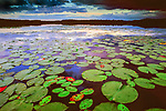Lilly pads cover English Lake in Northern Wisconsin.